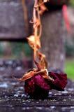 Rose de rouge sur le banc Photographie stock libre de droits