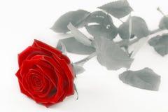 Rose de rouge sur le blanc - noir et blanc avec la fleur simple colorée Photo stock