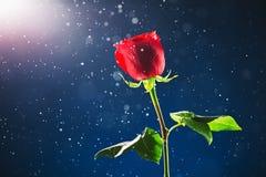 Rose de rouge sur le fond de neige Photo libre de droits