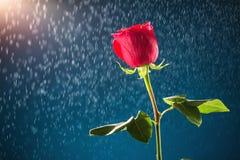 Rose de rouge sur le fond de neige Image libre de droits