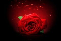 Rose de rouge sur le fond rouge de scintillement Photos stock