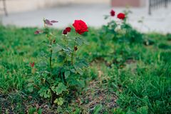 Rose de rouge sur un fond d'herbe verte dans le jardin Images stock
