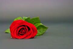 Rose de rouge sur un fond de drey Photographie stock