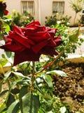 Rose de rouge sur un jardin photographie stock