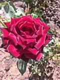 Rose de rouge sur un jardin image libre de droits