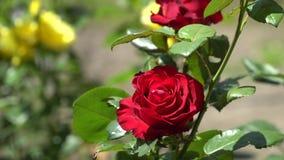 Rose de rouge sur une branche verte Image stock