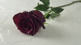 Rose de rouge tombant sur le fond blanc avec la vidéo de longueur d'actions de mouvement lent de l'eau clips vidéos