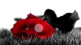 Rose de rouge tombant sur une terre grise