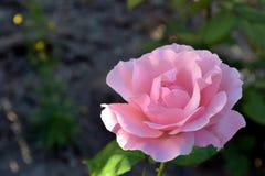 Rose de seda Imagenes de archivo