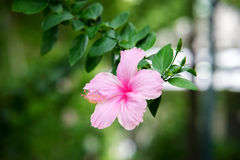 Rose de Sharon Photographie stock