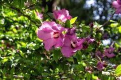 Rose de Sharon Imagen de archivo libre de regalías