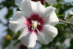 Rose de Sharon Photos stock