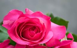 Rose de rose sur le fond en bois brun Image stock