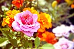Rose de rose sur un buisson en parc Photographie stock libre de droits