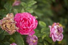 Rose de rose sur un fond vert brouill? photographie stock libre de droits