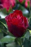 Rose de Valentine avec la rosée Photo libre de droits