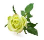 Rose de vert d'isolement sur le fond blanc Image libre de droits