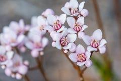 Rose de wildflower indigène d'Australie occidentale macro et blanc Photo libre de droits