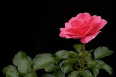 Rose del color rosado brillante en un fondo negro Fotografía de archivo