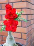 Rose del deserto rosse Immagini Stock