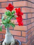 Rose del deserto rosse Immagine Stock