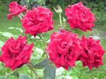Rose del giardino Fotografie Stock Libere da Diritti