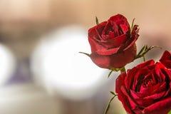 Rose 1 del primo piano Fotografie Stock