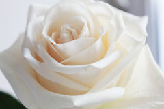 Rose. Delicate white rose glows beautifully Stock Images