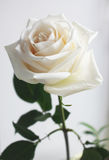 Rose. Delicate white rose glows beautifully Stock Photos
