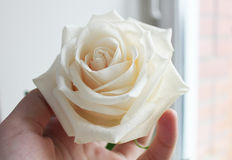 Rose. Delicate white rose in hand Stock Photo