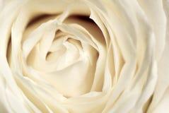 rose delikatnie Zdjęcie Royalty Free