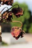 Rose della bruciatura fotografia stock