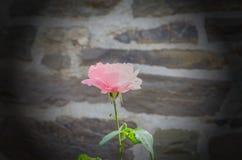 Rose della primavera in piena fioritura Fotografia Stock Libera da Diritti
