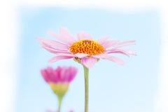 Rose delle margherite su fondo bianco Fotografie Stock Libere da Diritti