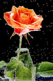 Rose in den Blasen Stockfotos