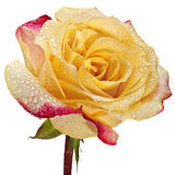 Rose in den Wassertropfen Lizenzfreies Stockbild
