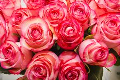 Rose dentellare È molte rose rosa Immagini Stock