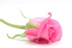 Rose dentellare Immagine Stock Libera da Diritti