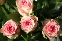 Rose dentellare Immagini Stock Libere da Diritti