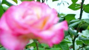 Rose dentellare Due piccoli sono aumentato all'inizio della struttura e un grande è aumentato all'estremità del telaio video d archivio