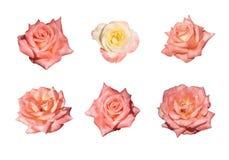 Rose dentellare isolate Fotografia Stock Libera da Diritti