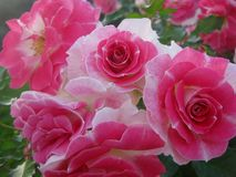Rose dentellare nel giardino Immagine Stock