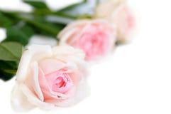 Rose dentellare su priorità bassa bianca Fotografia Stock Libera da Diritti