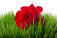 Rose in der Grasnahaufnahme Stockfoto