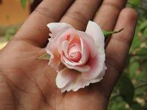 Rose in der Hand Stockbilder