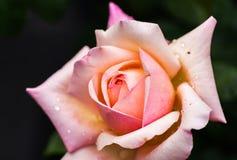 Rose in der süßen und weichen Farbflora am Garten stockfoto