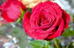 Rose in der Sonne Lizenzfreies Stockbild