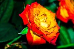 Rose des orange Rotes und des Gelbs Lizenzfreies Stockfoto