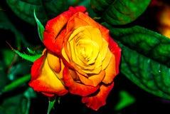 Rose des orange Rotes und des Gelbs Stockbild