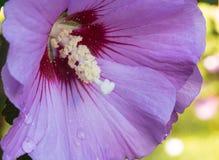 Rose des Sharon-Makrobildes Stockfotos